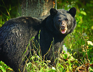 The Porcupine Mountains are home to an estimated 20 to 30 black bears.